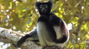 indri-lemur